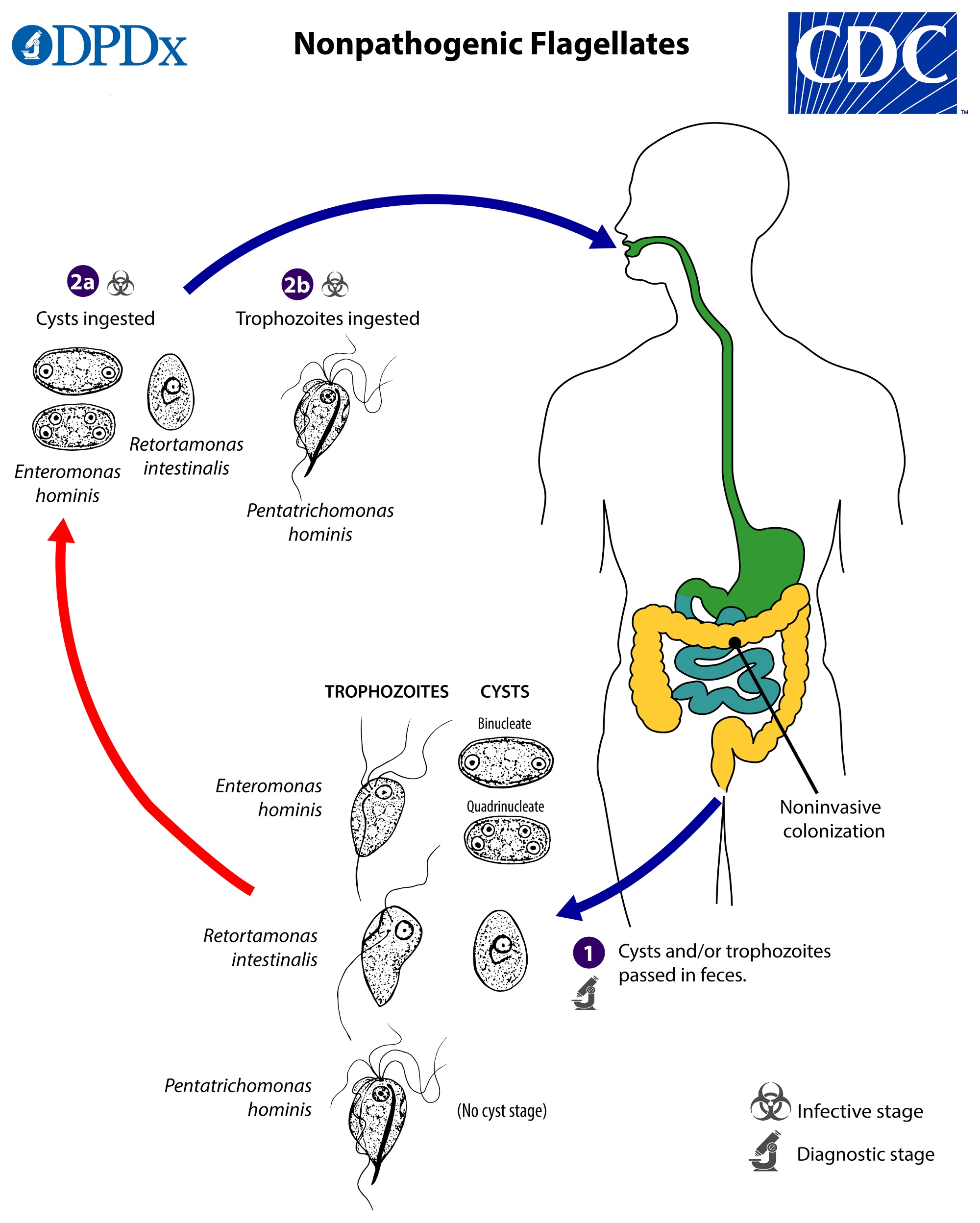 giardia duodenalis life cycle cdc