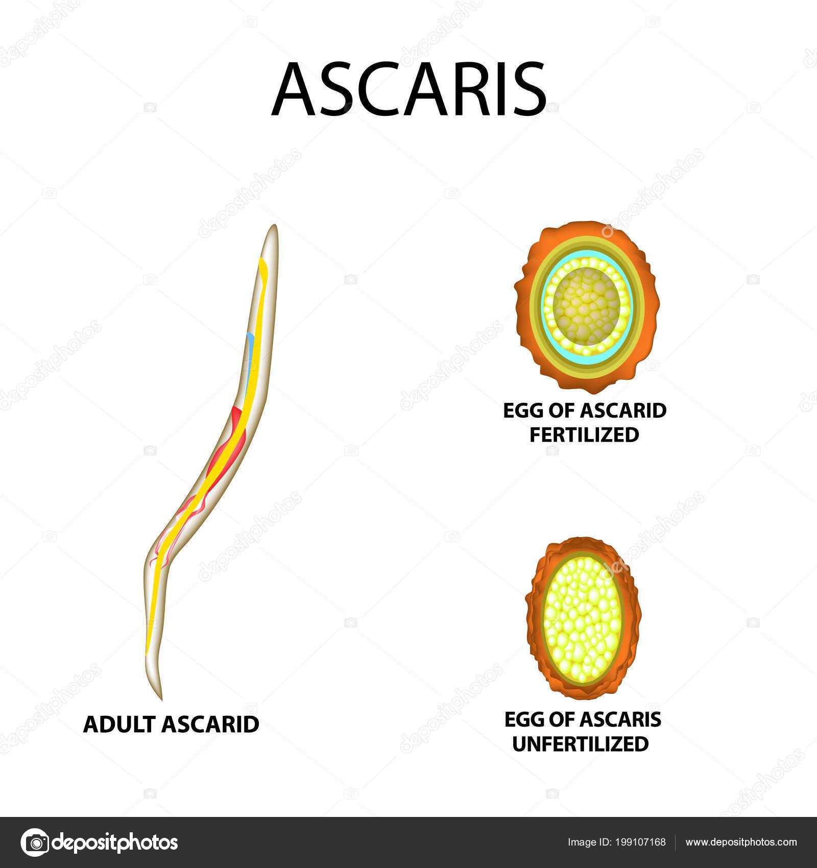 ascaris érése paraziták lepényhal
