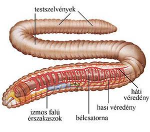 Férgek taplalkozasa - Biológia - évfolyam   Sulinet Tudásbázis