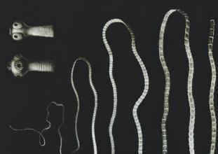 Paraziták és férgek fejlődési ciklusa, Parazita féreg ciklus