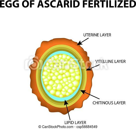 az ascaris tojások továbbadásának módja az emberekre