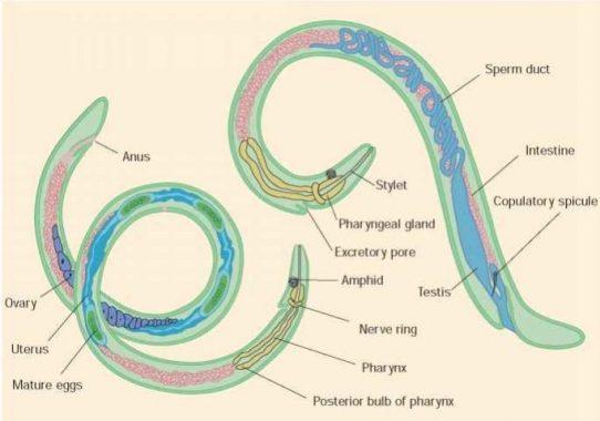 gambar phylum nemathelminthes hogyan lehet eltavolitani a parazitákat