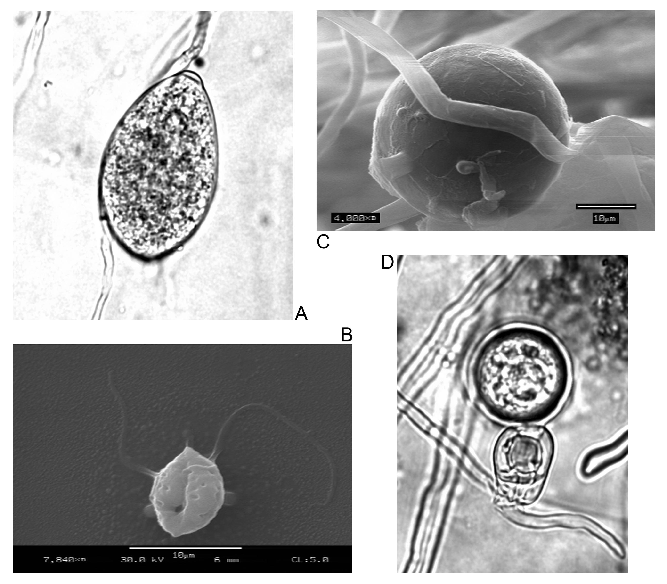 protozoan paraziták hogyan kell kezelni