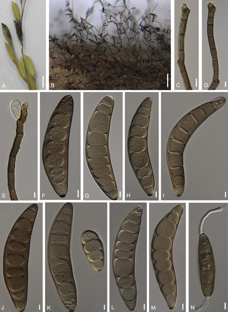 gomba helminthosporium oryzae