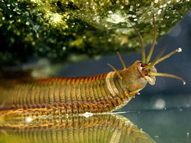 tengeri gyurusféreg cérnagiliszta ellen házilag