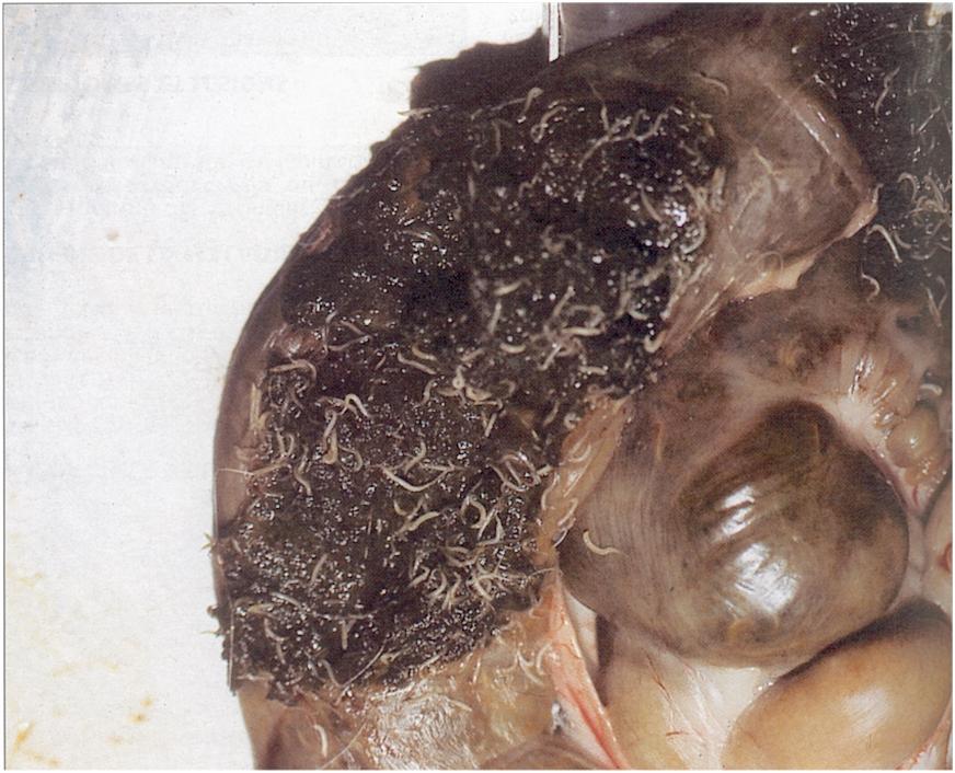 Kukacosság másképp – cérnagiliszta fertőzés kezelése homeopátiával