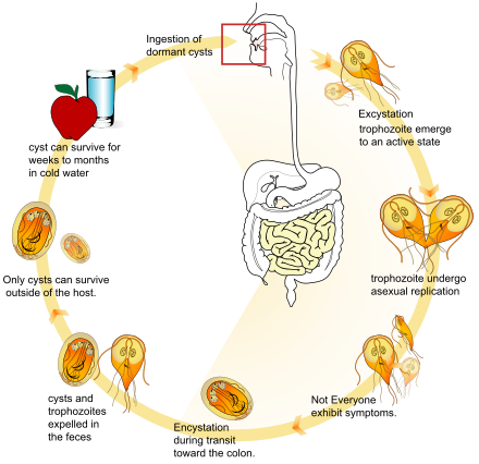 kerekféreg giardia kezelés