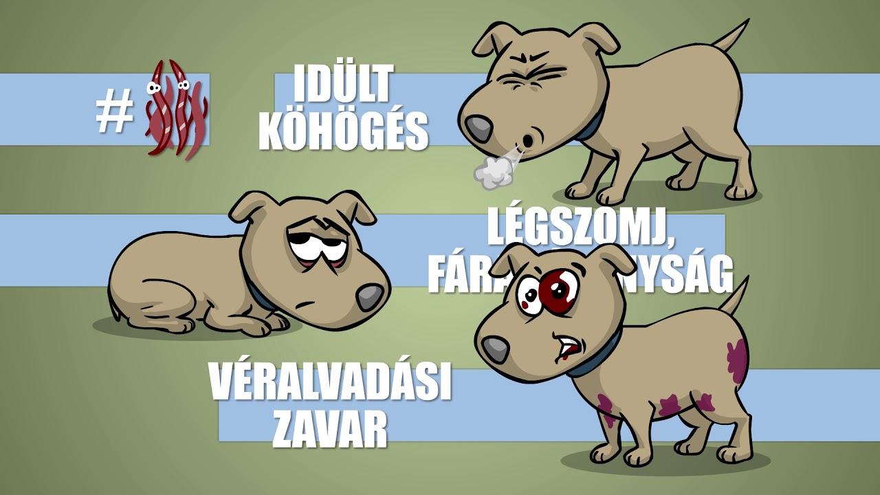 A Francia szívférgesség   Dr. Pallagi Attila állatorvos