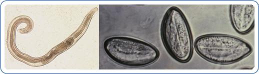 Decaris Enterobiasis kezelés emberben (pinworms)