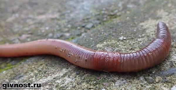 pinworm élőhely parazita anidab