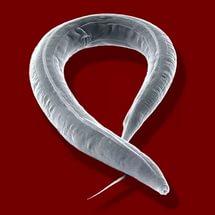 Paraziták jelenléte a szervezetben - Az emberi házigazdák paraziták