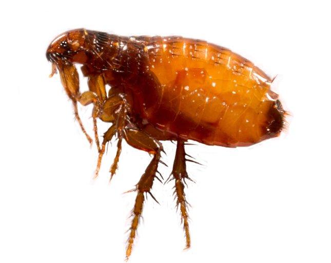 nagy paraziták