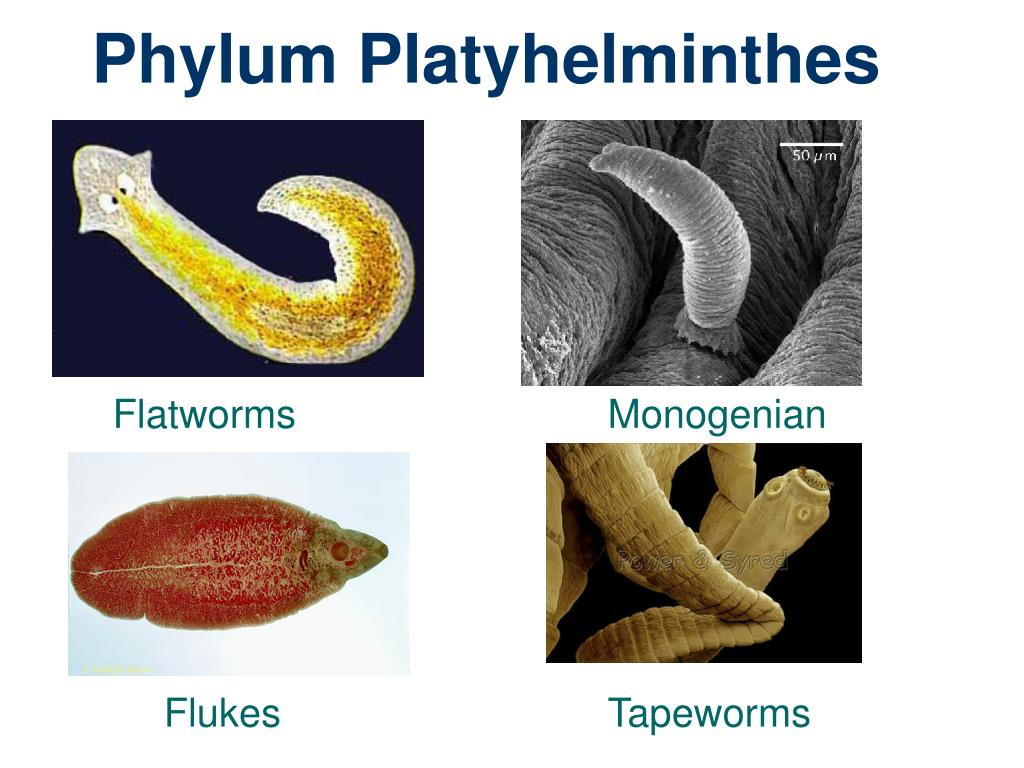 anyag platyhelminthes ppt giardia ag labcorp