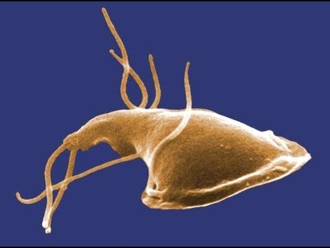 giardia and pregnancy helmint hatások