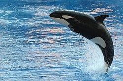 bálna kék tőkehalban