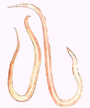 szarvasmarha szalagféreg fertőzés módszerei