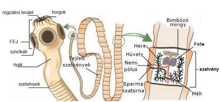 az ektoparaziták tünetei emberben férgek kezelése 12 éves gyermekeknél