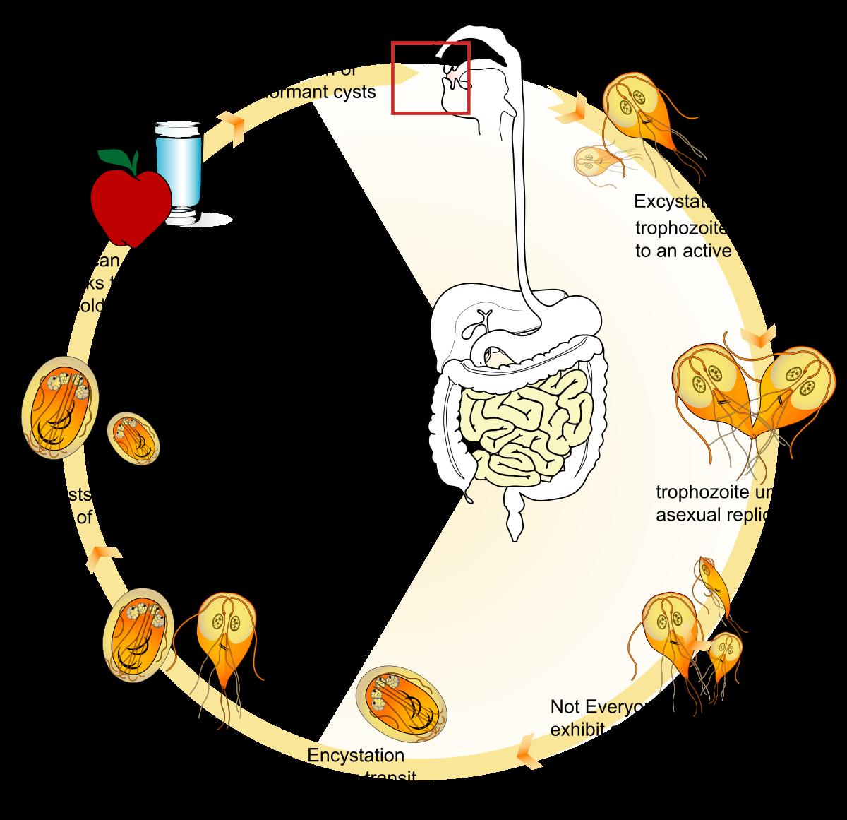 giardia protozoa symptoms hogyan kell elvezetni a pinworm férgeket