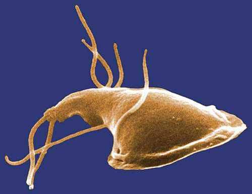 giardien mensch symptome giardia cytology