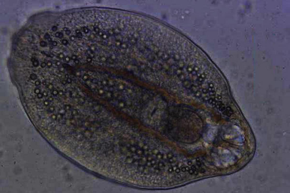 gyógyszer bármilyen férgek ellen paraziták házigazda fájl