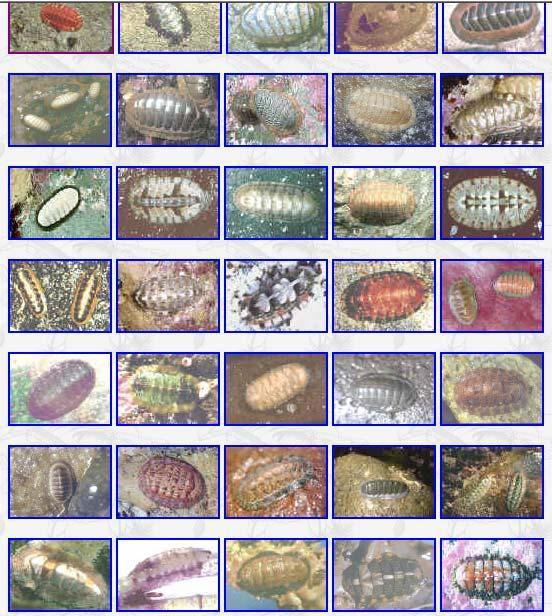 a platyhelminthes lárva formái paraziták férgek nevek