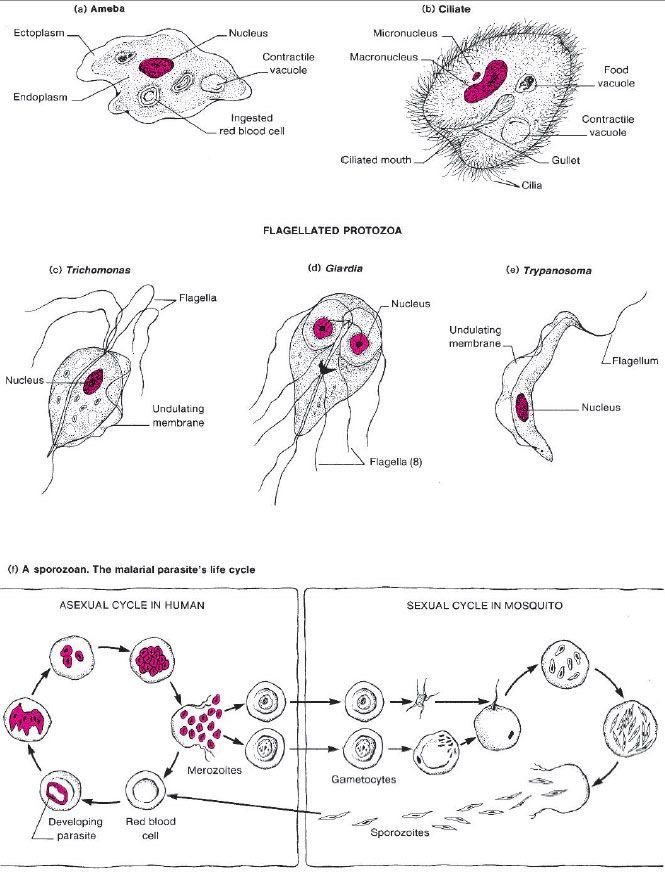 giardiasis diéta
