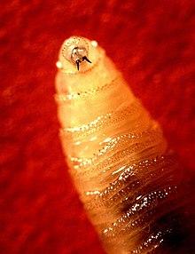cochliomyia hominivorax paraziták a gyermekekben a pinworm fertőzés jelei