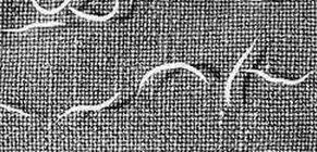 megelőző gyógyszerek férgek férgek számára helminthosporium velutinum