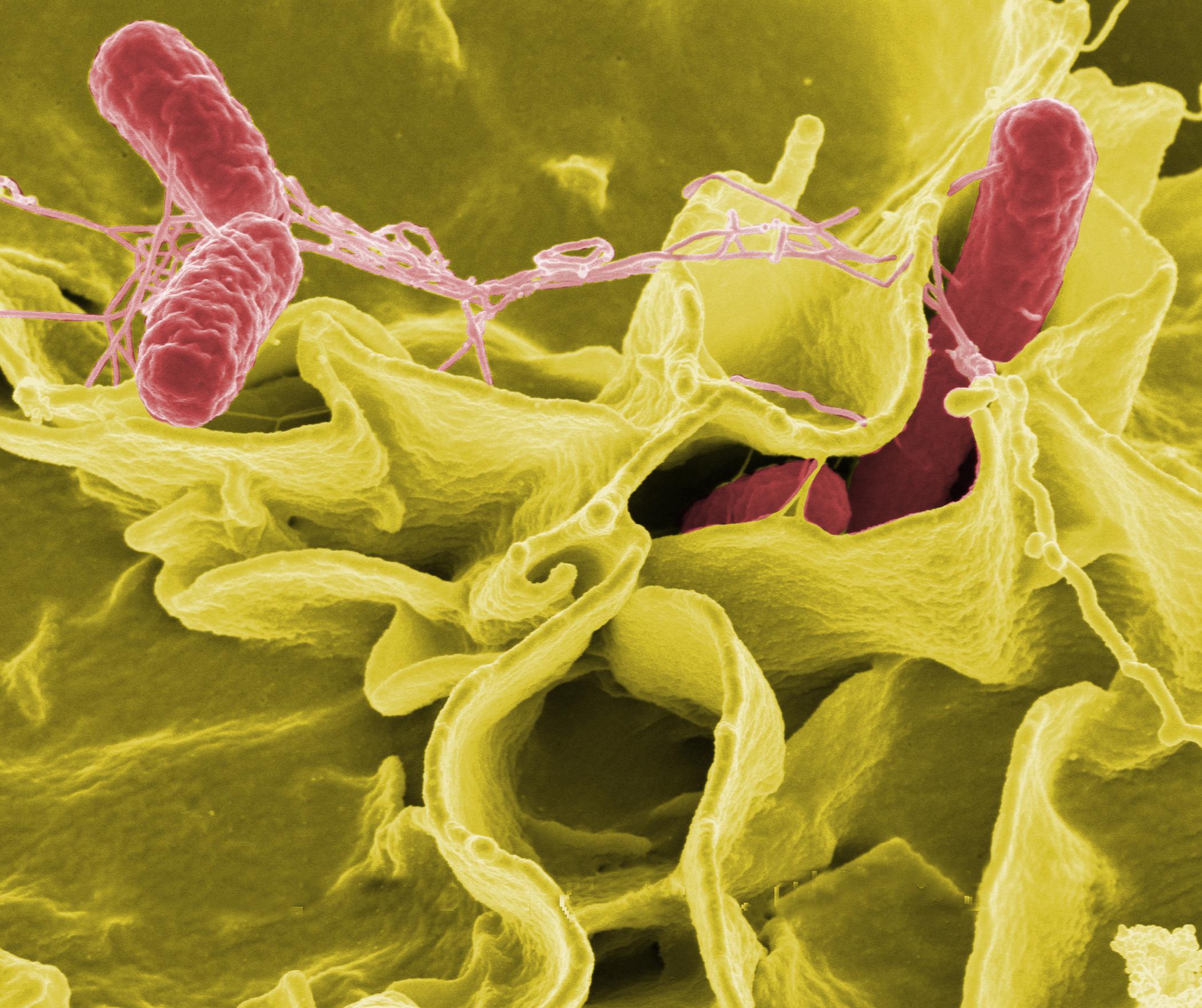 enterobiosis hány napig tart