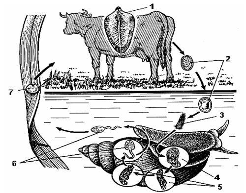 planaria és bika szalagféreg tabletták emberi parazitákhoz