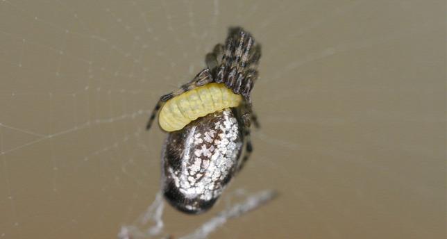 gyakori helmintos fertőzések hogyan lehet elmenteni a férgeket