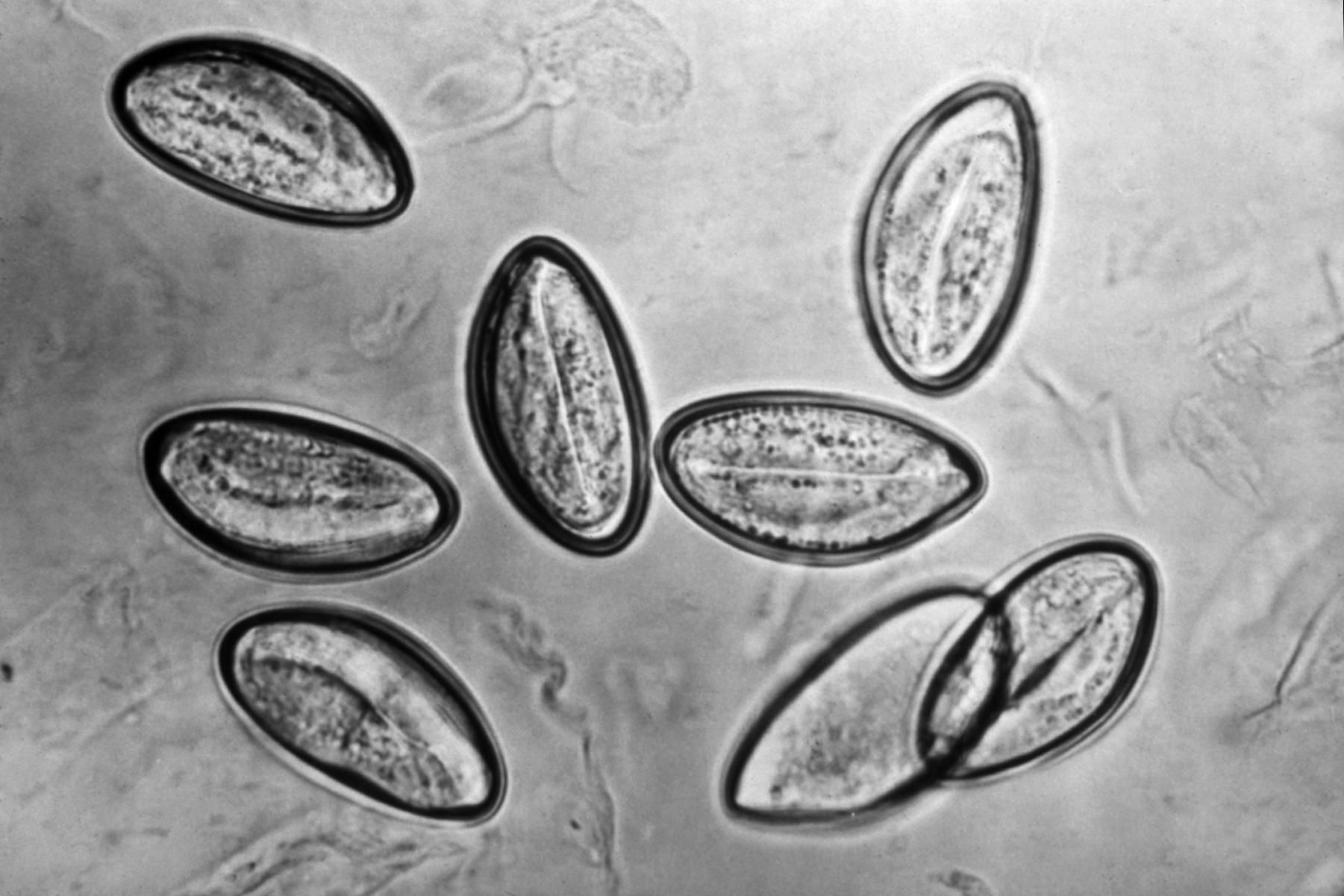 pinworm taxonómia
