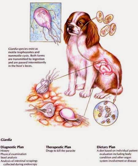 giardia infection diet