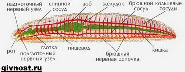 Általános jellemzők (M. V. Gorlenko). Mycelium változás