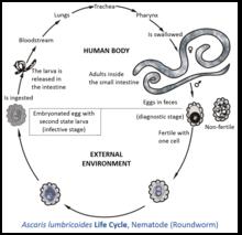 helminthiases ascariasis orsofereg gyerekeknel