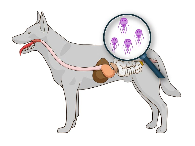 giardia parasite chien férgek nevét