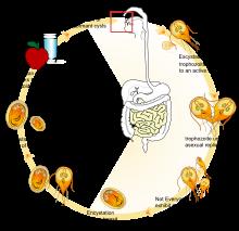 giardia parasite in humans