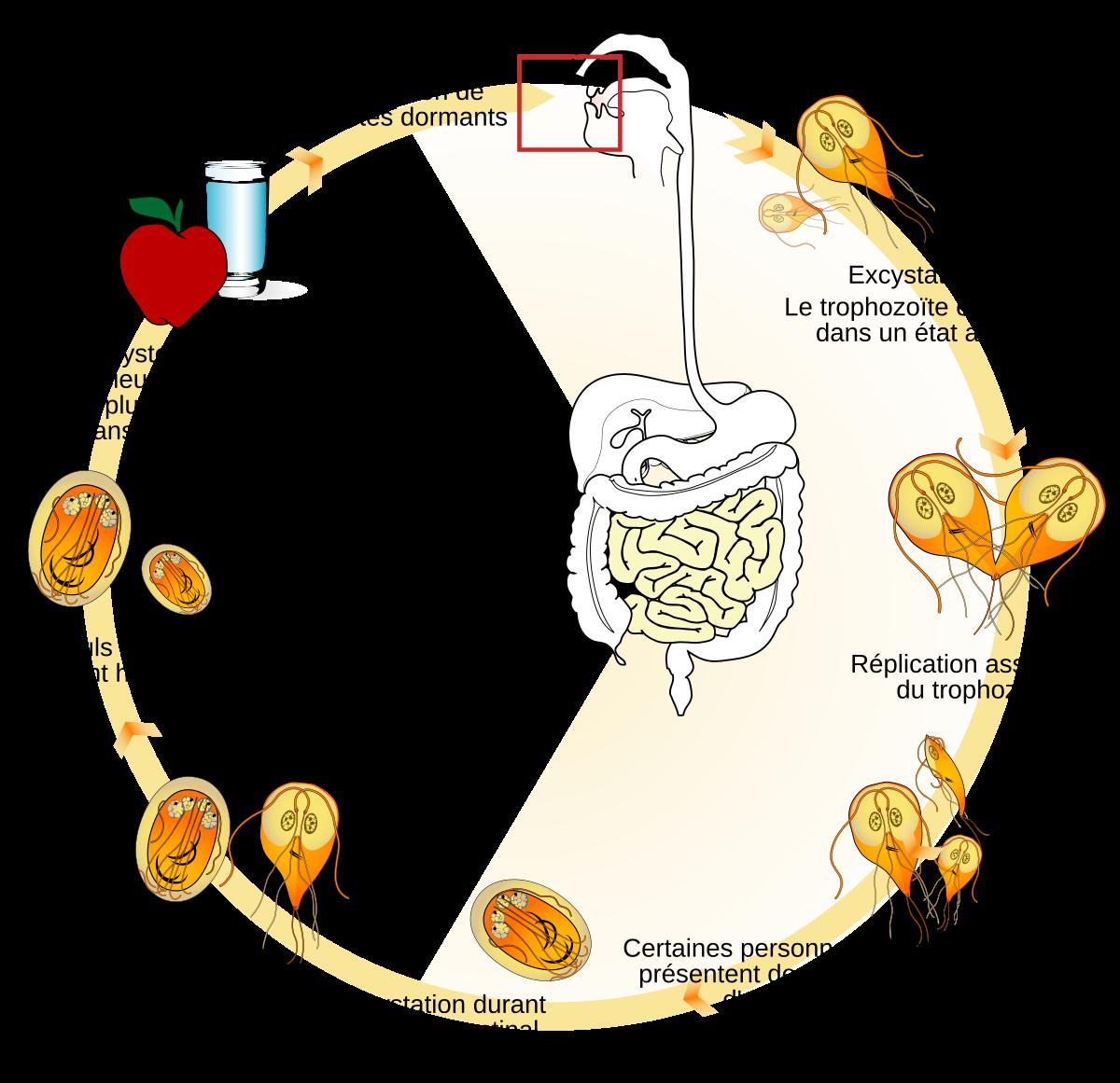 baktériumok a giardia tüneteitől)