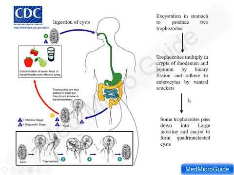 giardiasis life cycle cdc