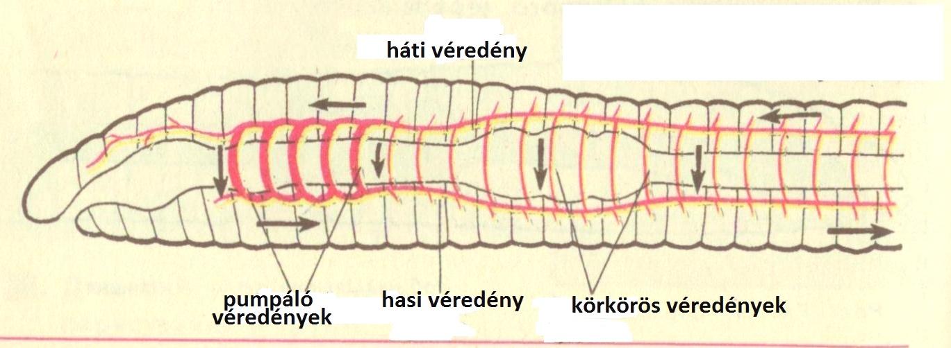 Gyurusfergek szaporodasa, A gyűrűsférgek törzse