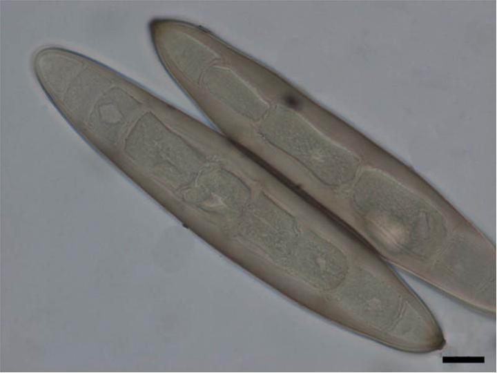 helminthosporium turcicum