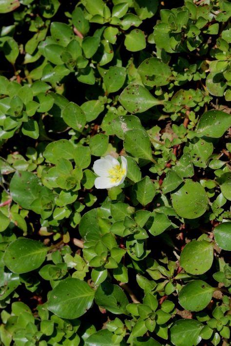 ludwigia helminthorrhiza cérnagiliszta elleni gyógyszer