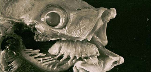 Halak nyelvén élősködik a parazita rák