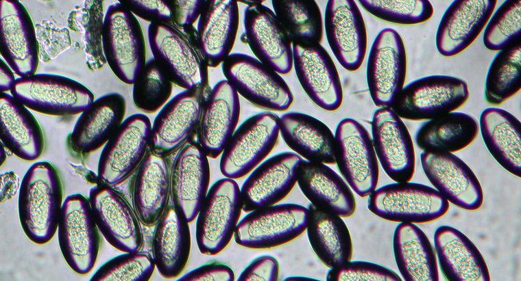 pinworm vazelin féreg kezeles