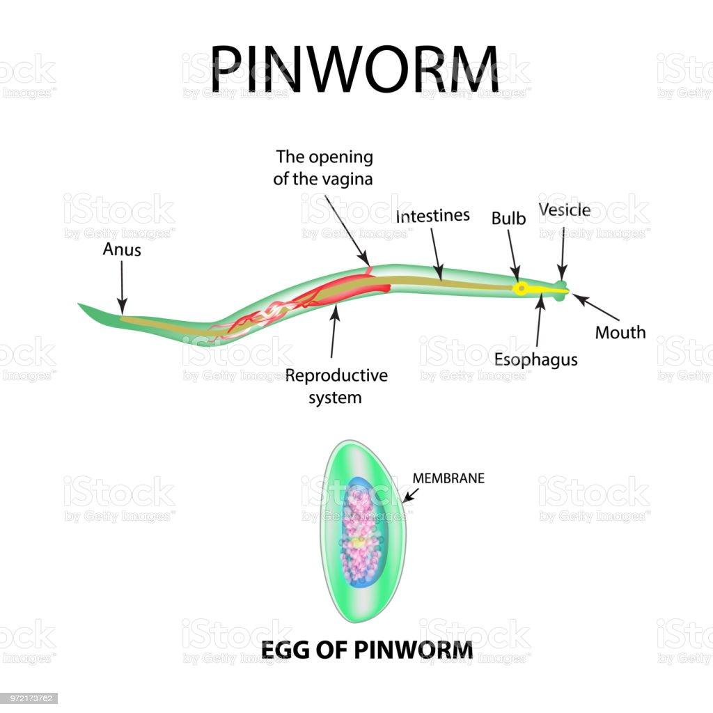 belső paraziták gyógyszerei pinworm fertőzés