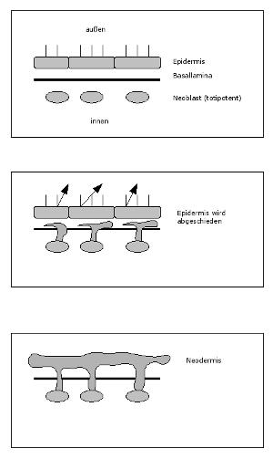 plathelminthen fortpflanzung hogyan lehet megtisztítani a belek férgektől drogokkal