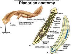Flatworm - Planarian Anatomy photo | Biológia