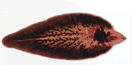 platyhelminthes trematoda