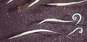 giardia skin rash
