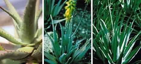 aloe paraziták kezelése humán parazitákból származó rókagombák infúziója